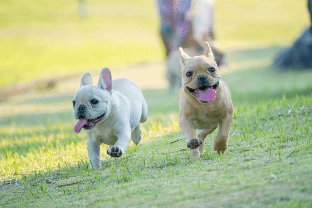 6 Little Facts and Quirks About French Bulldog 2