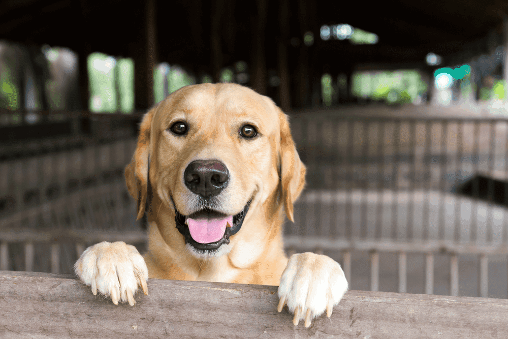 Top 7 Effective Labrador Retriever Training Tips 3