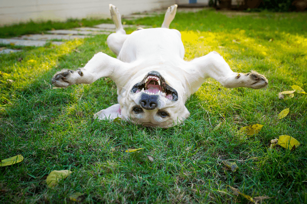 Top 7 Effective Labrador Retriever Training Tips 4