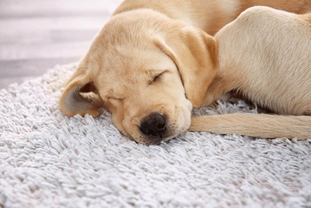 Top 7 Effective Labrador Retriever Training Tips 1