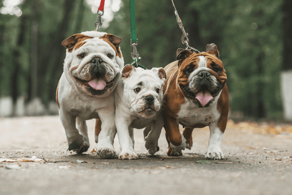 Training Tips To Make Your French Bulldog To Be A Winner In All Areas 3