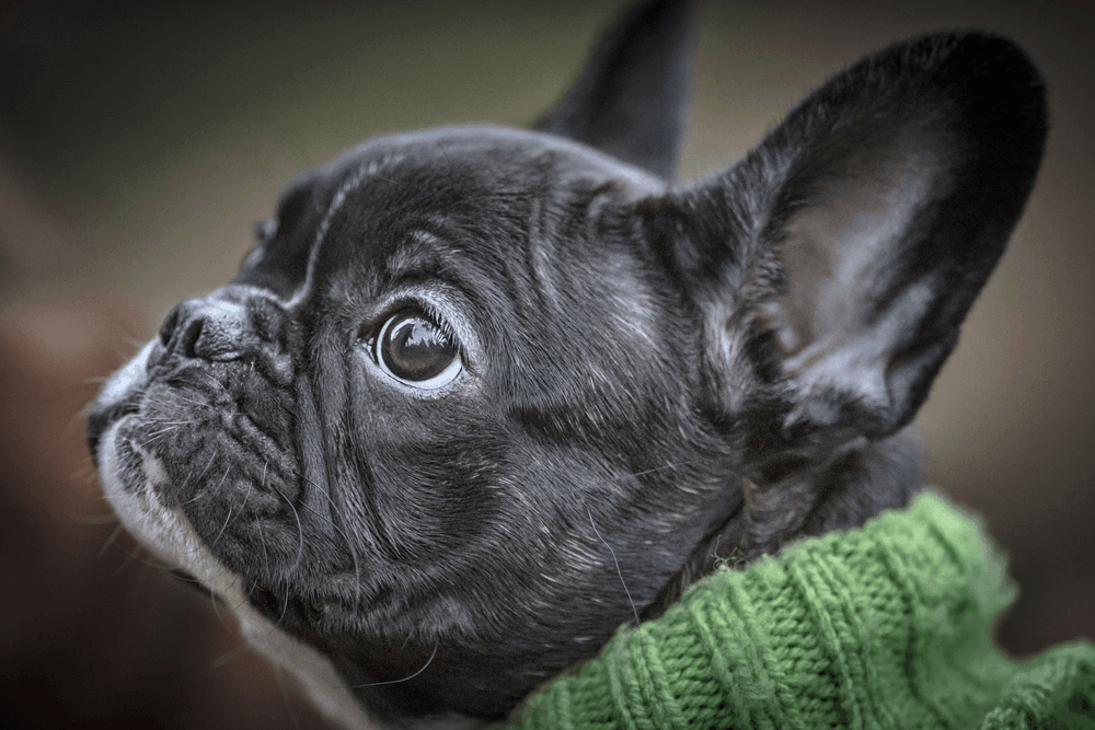 Training Tips To Make Your French Bulldog To Be A Winner In All Areas 1