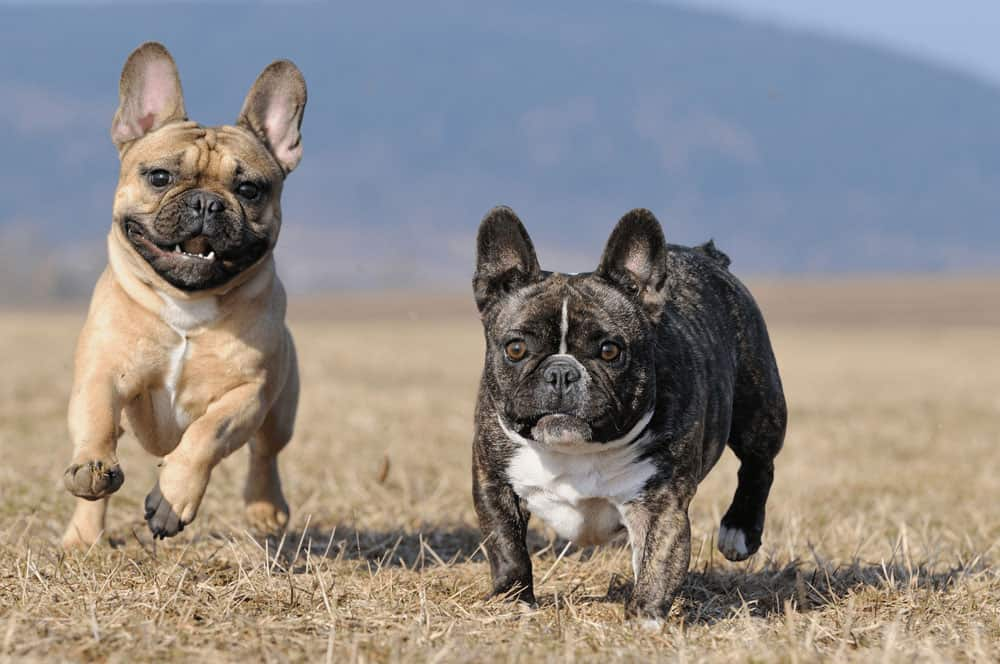 6 Little Facts and Quirks About French Bulldog 1