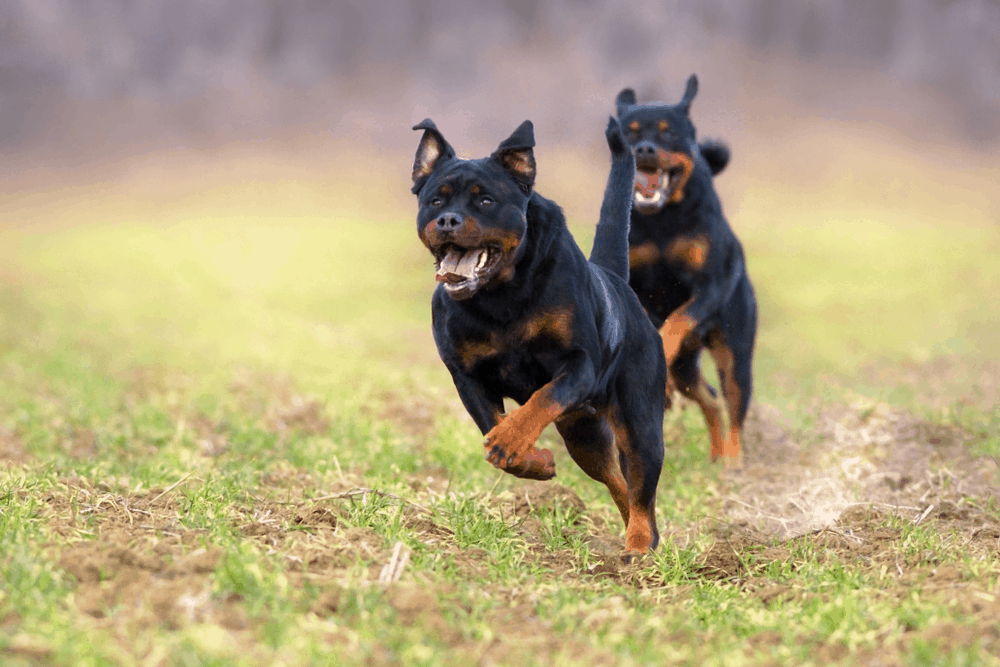 Knowing More About Rottweiler Dogs 3