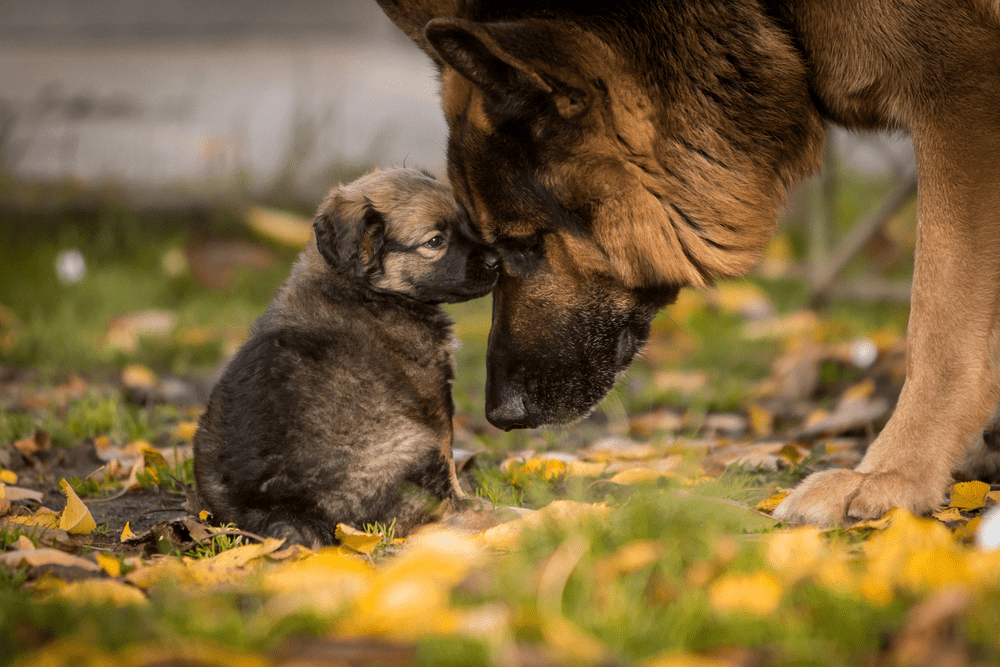Are Better Protection Dogs Made by American German Shepherds? 2