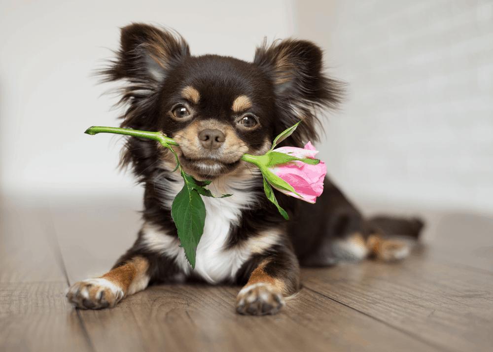 Chihuahua - Small Dog, Small Conclusion 2
