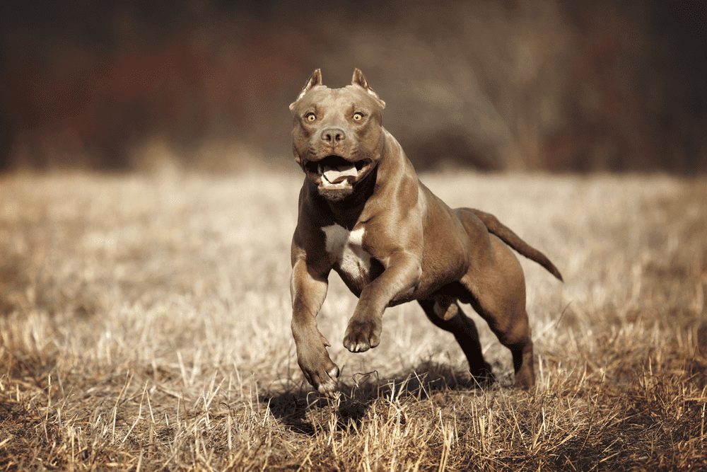 Top 10 Reasons Why You Should Have A Pit Bull 2
