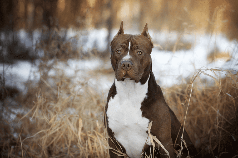 Top 10 Reasons Why You Should Have A Pit Bull 3
