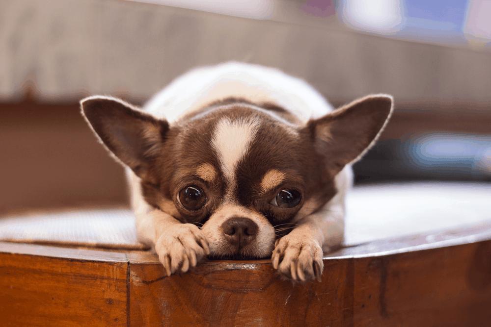 The Amazing Chihuahua 2