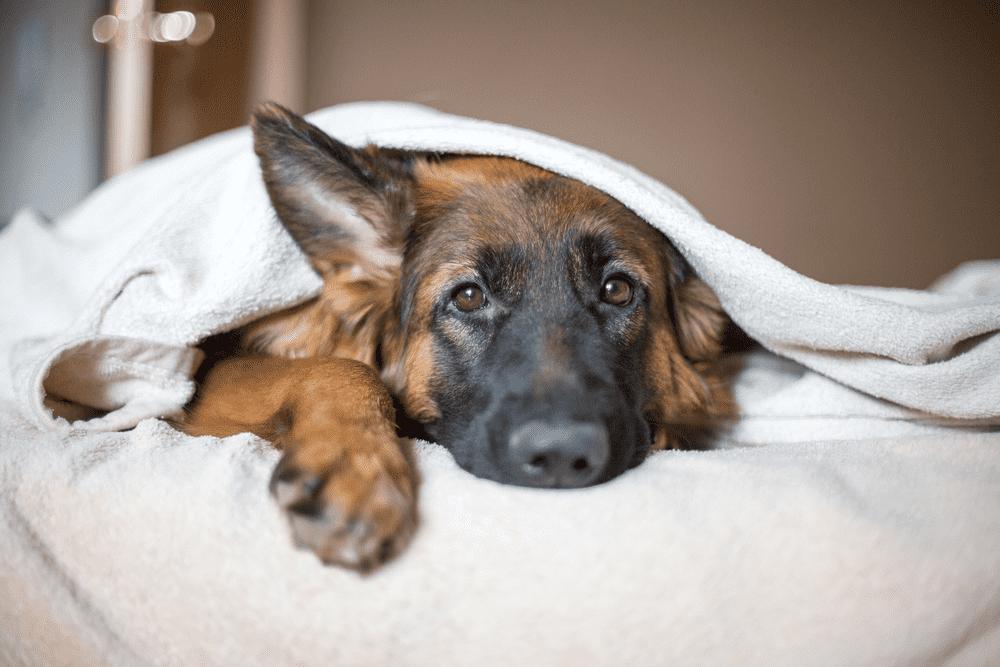 The Way to Raise German Shepherds 1