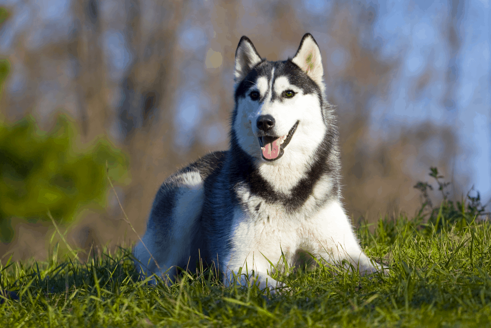 5 Ways You Must Train Your Siberian Husky 3