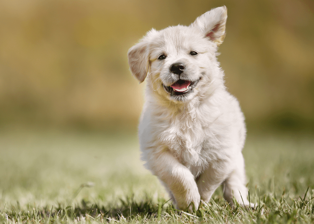 Golden Retriever Health - Top Health Issues To Be Conscious of -