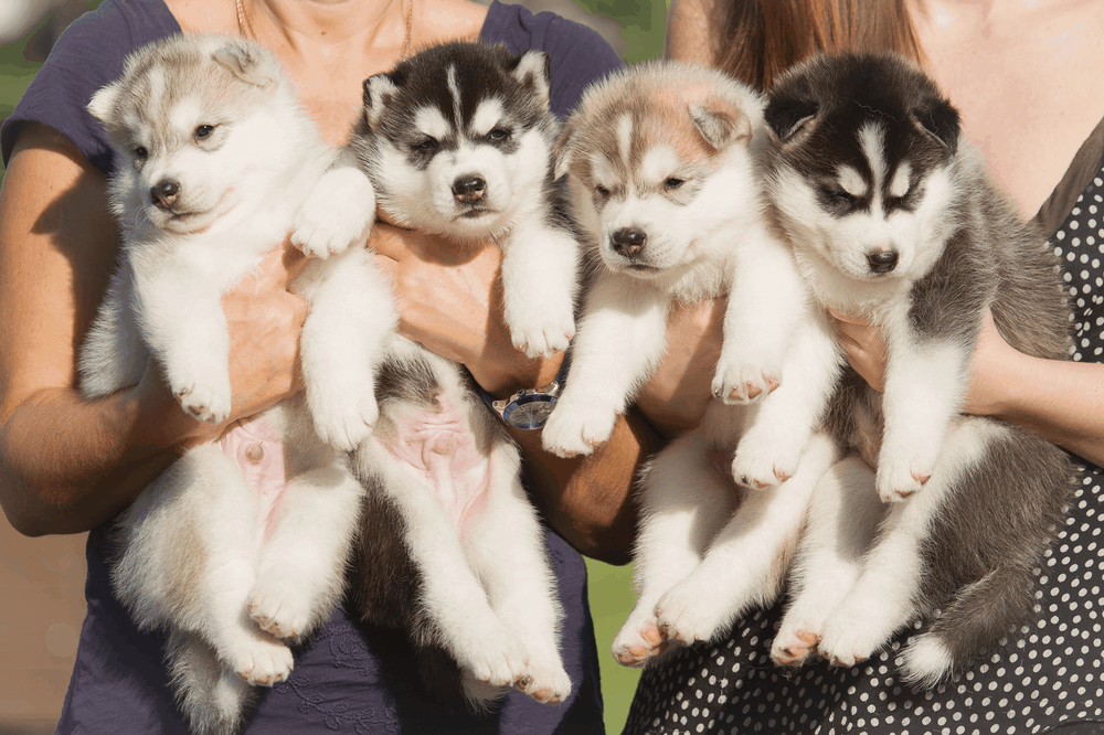 5 Ways You Must Train Your Siberian Husky 2