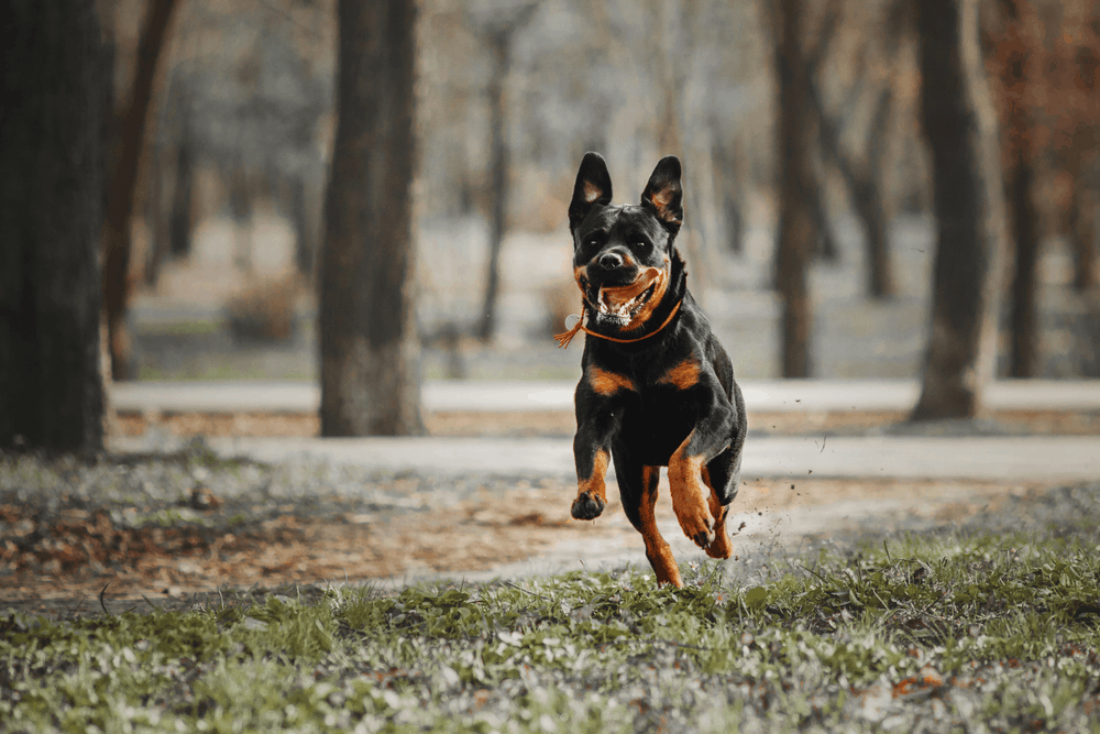 Exercise Is Essential for Your Rottweiler 2
