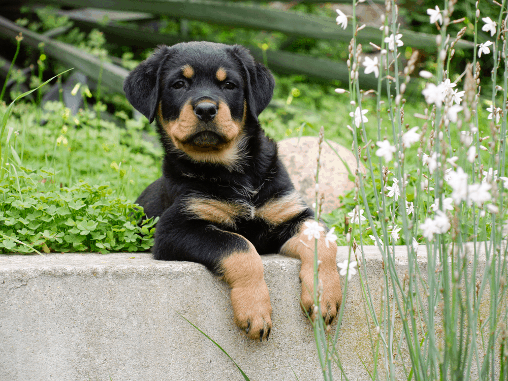 Exercise Is Essential for Your Rottweiler -