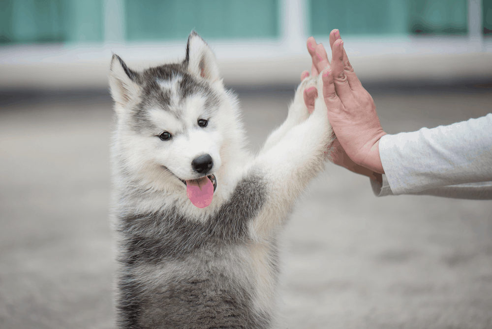 5 Ways You Must Train Your Siberian Husky 29