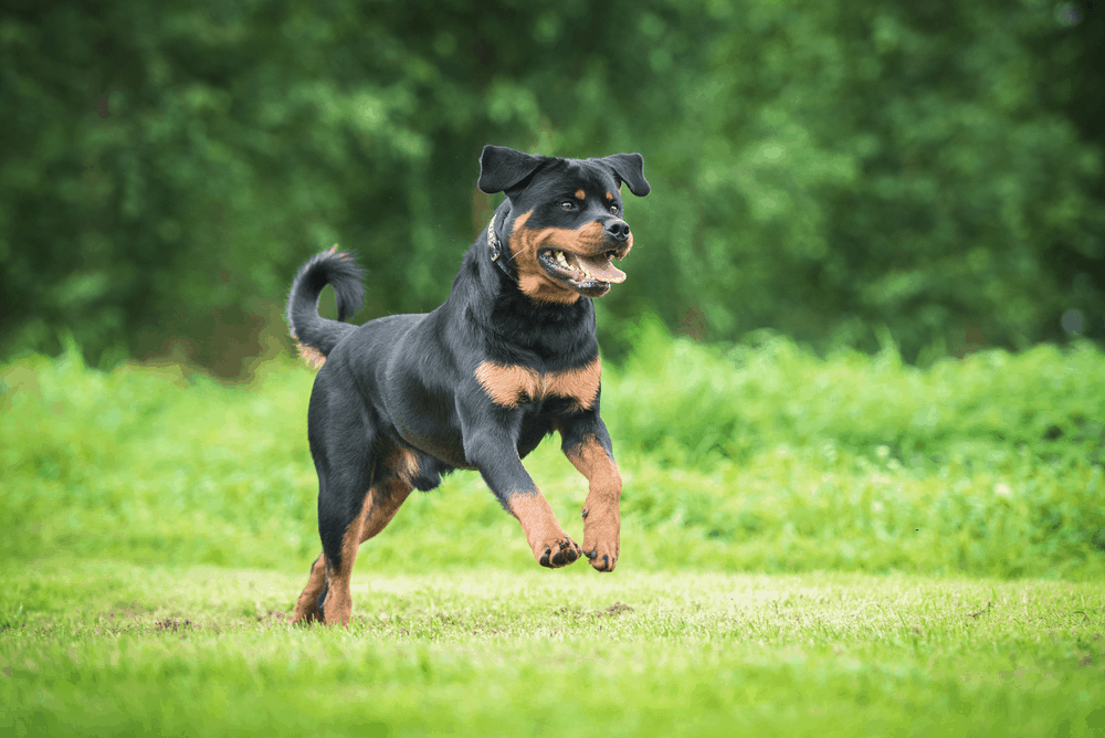 Exercise Is Essential for Your Rottweiler 3