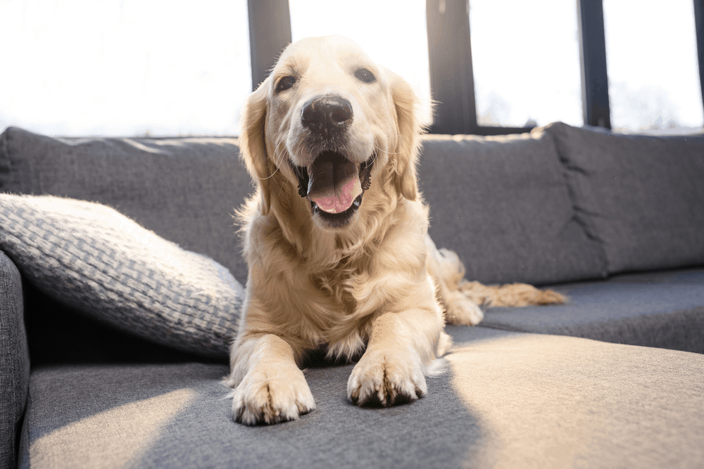 Your Golden Retriever's Health -