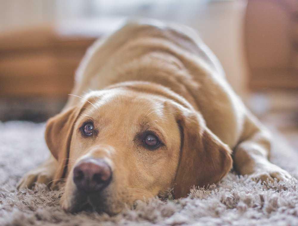 Labrador Retrievers - Understanding The Ideal Choice 14