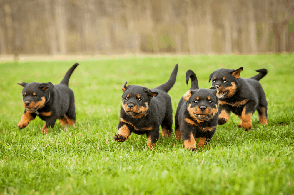 The Rottweiler - Some of the Oldest Working Dogs of History 3