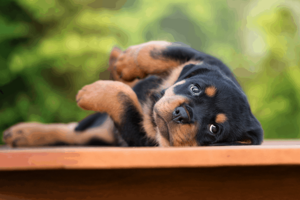 The Rottweiler - Some of the Oldest Working Dogs of History 7