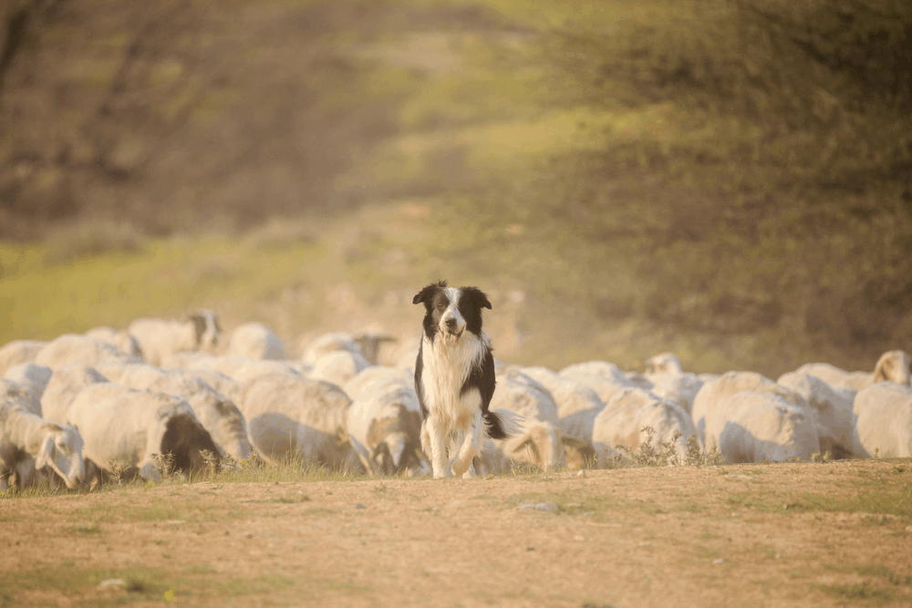 Border Collie Training - Easy and Hard 3