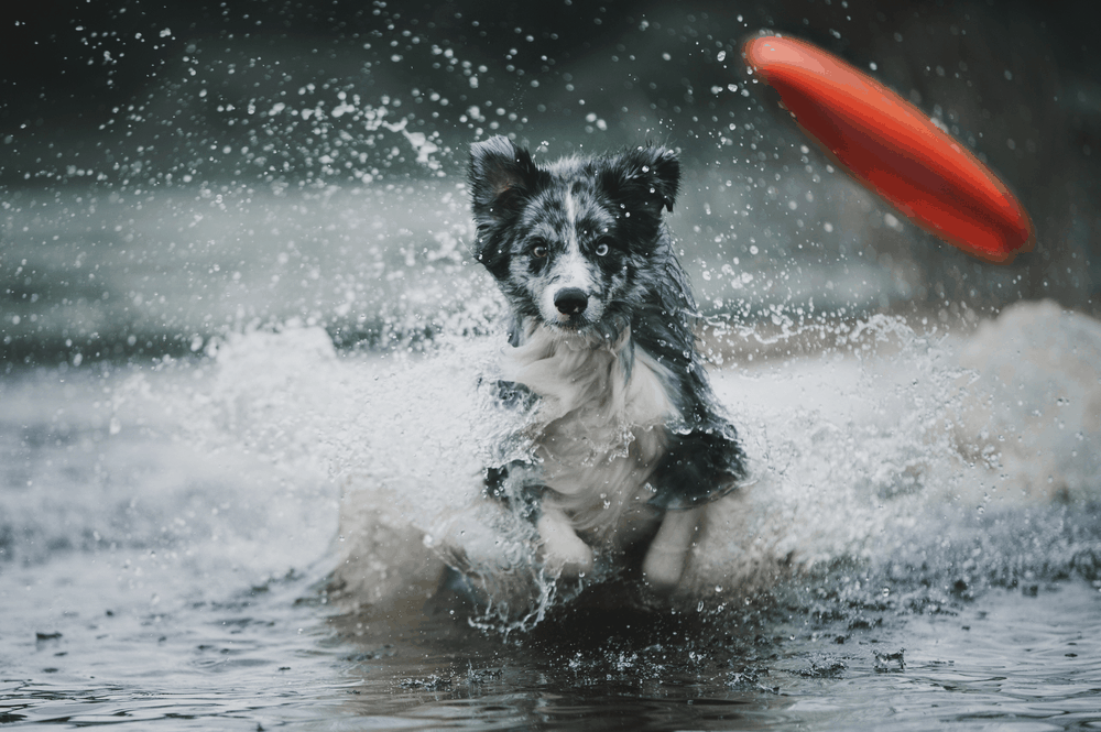 Make Your Border Collie Dogs Training Fun! 3