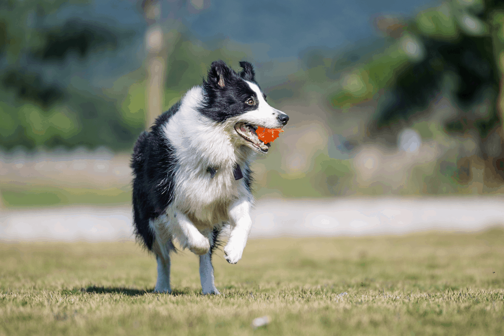Make Your Border Collie Dogs Training Fun! -