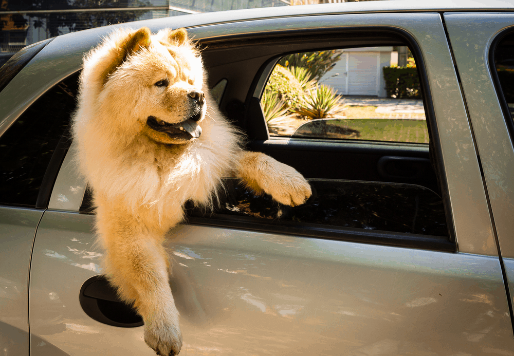 Where Can I Find a Chow Chow For Sale? 2