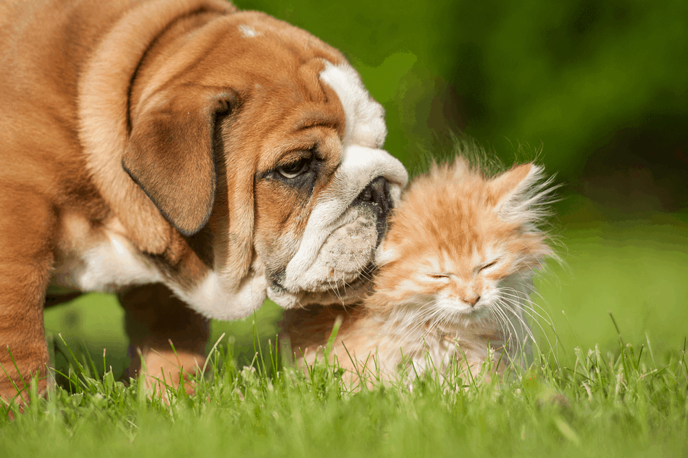 The English Bulldog, History and Care 4