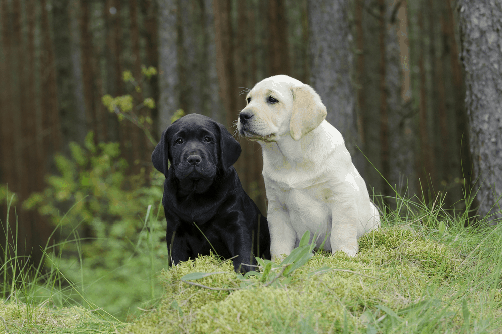 How To Care For Labrador Retriever Puppies 2