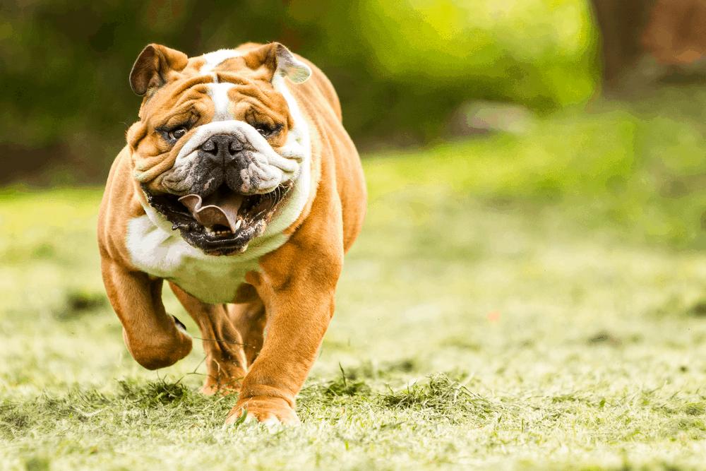 The English Bulldog, History and Care 2