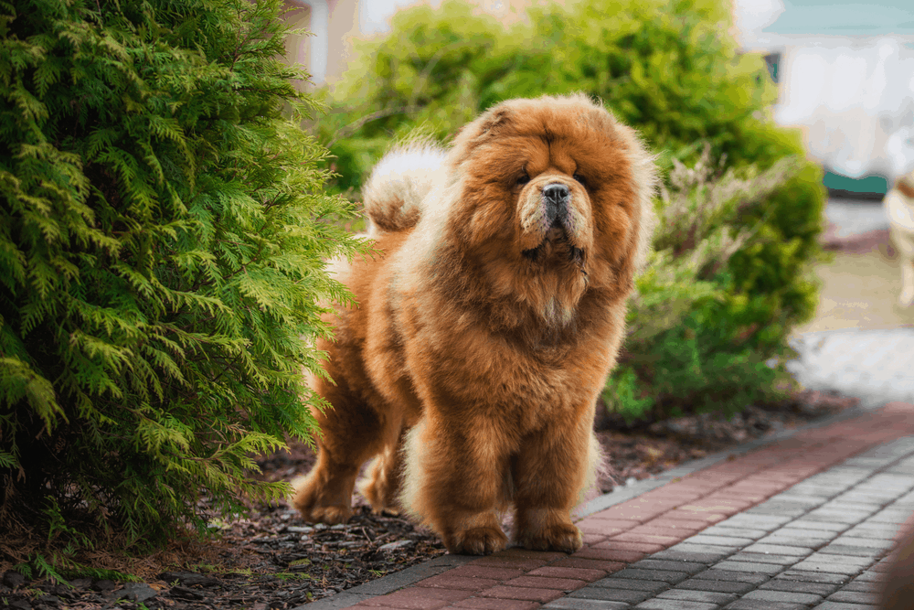 Where Can I Find a Chow Chow For Sale? 3