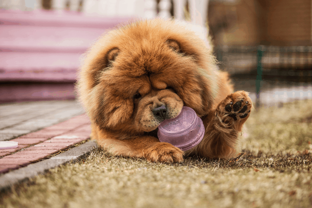 Where Can I Find a Chow Chow For Sale? -