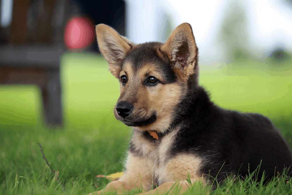 German Shepherd Training Advice For Young Puppy Socialization 3
