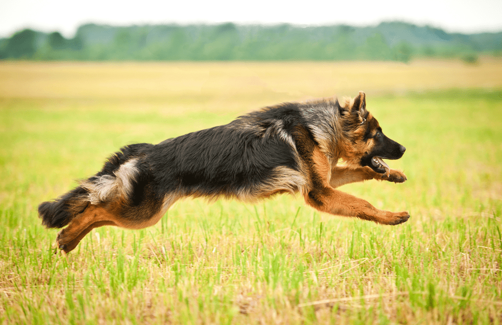 Dog Breeds - The German Shepherd Dog 3