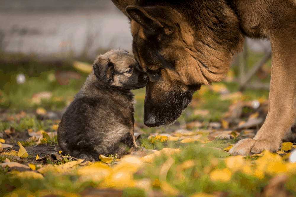 German Shepherd Training Advice For Young Puppy Socialization 16