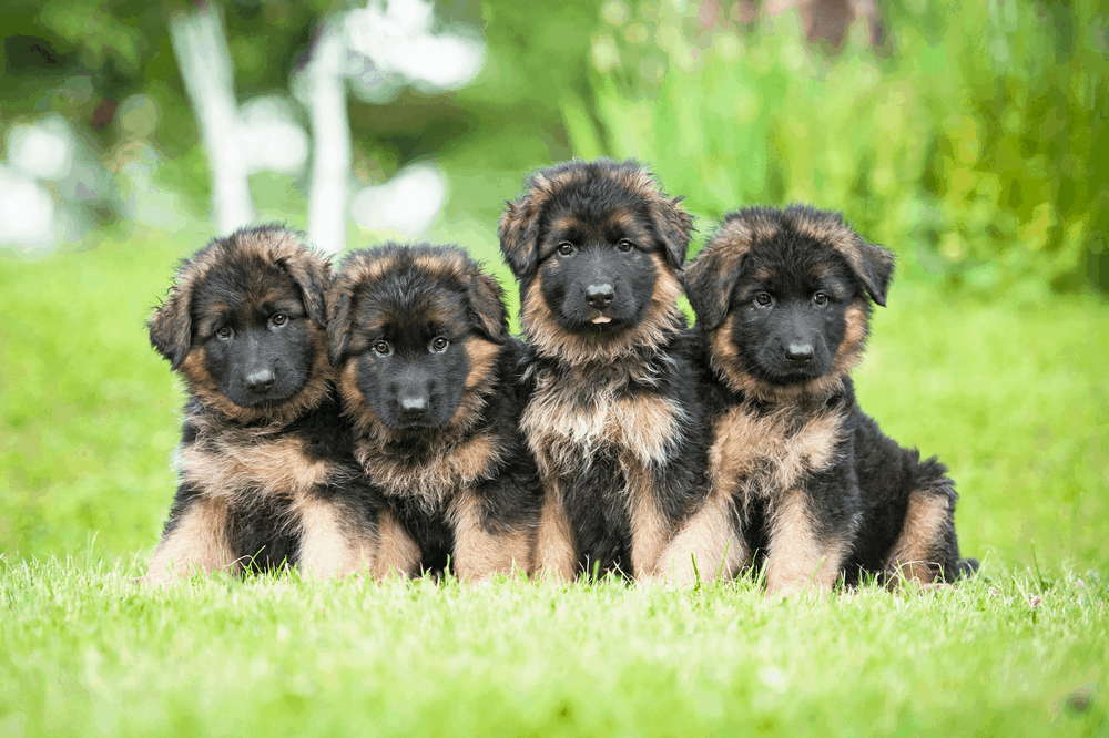 German Shepherd Training Advice For Young Puppy Socialization 2