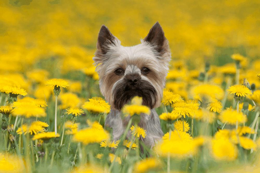 Dog Breeds - Yorkshire Terrier (Yorkie) -