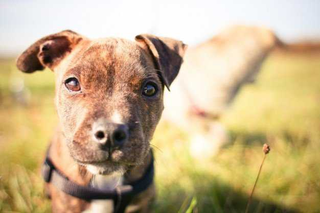 Why Are People So Bad At Pit Bull Training? 3