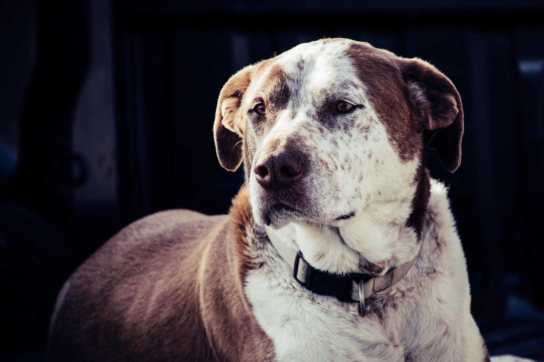 Is an American Pit Bull Terrier The Perfect Dog For You? 4