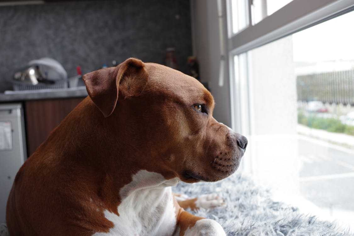 Is an American Pit Bull Terrier The Perfect Dog For You? 2