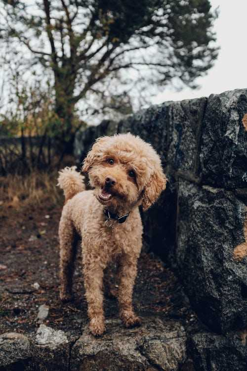 How to Train a Poodle 2