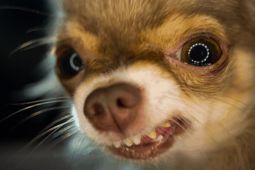 7 Tips You Must Know Before Training Your Chihuahua 1