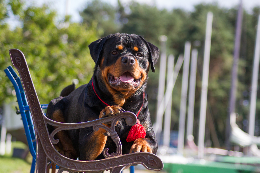 The Rottweiler - Facts From Fiction 1