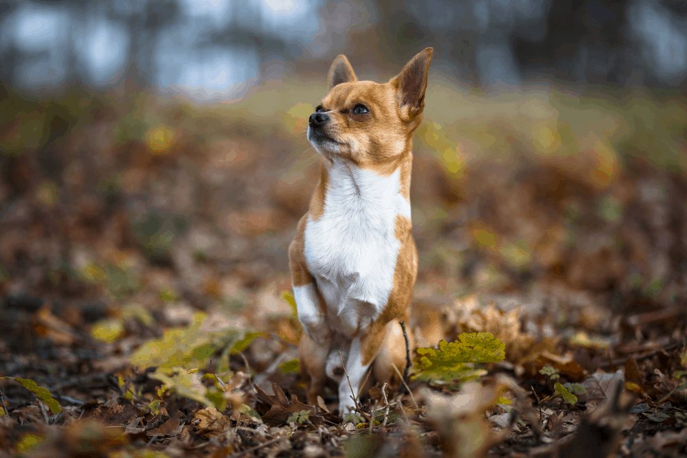 7 Tips You Must Know Before Training Your Chihuahua 3