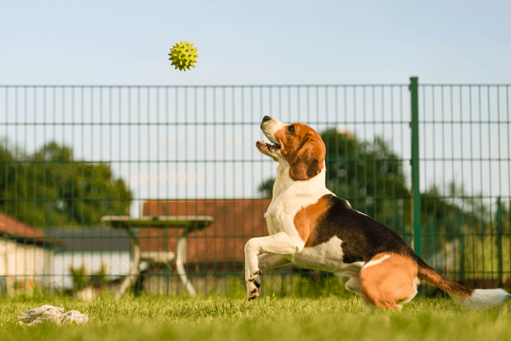 Beagle Training - Get Your Beagle Ready For Hollywood! 3