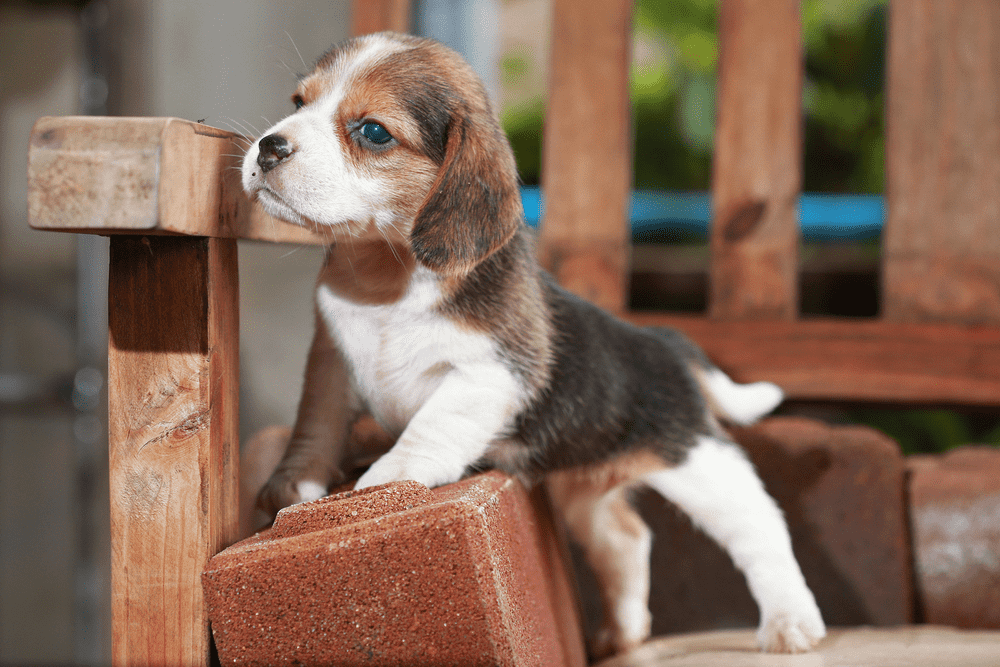 How to Train a Beagle Puppy - Beagle House Training -