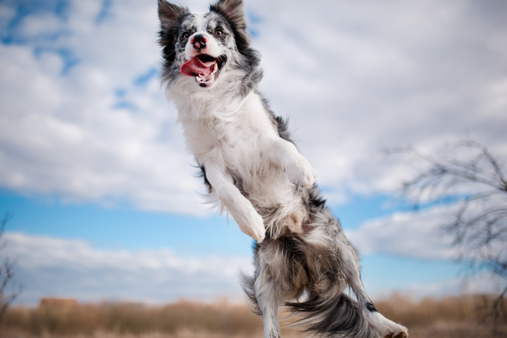 Tips to Stop Your Border Collie From Jumping 21
