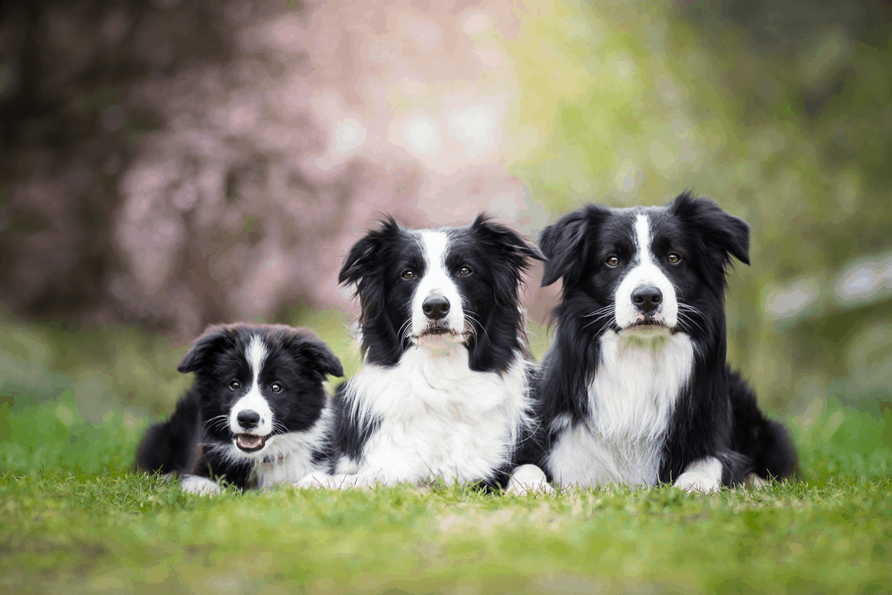 Border Collie Puppy Training - What Approach Should You Take? 1